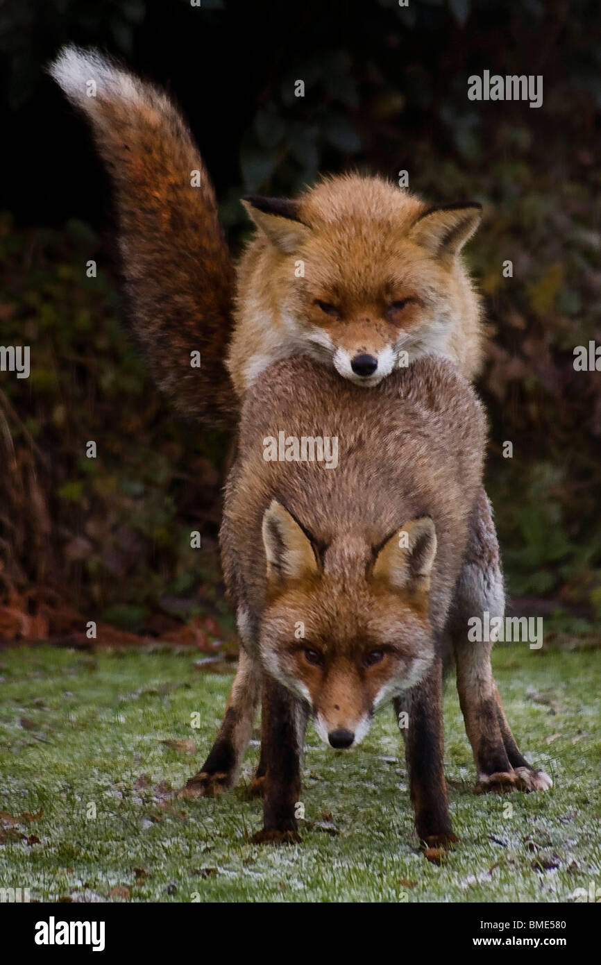 garden animals. MATING FOXES KENT GARDEN UNITED KINGDOM WILDLIFE WILD ANIMALS FOX SEASON ANIMAL VIXEN SEXUALLY ACTIVE URBAN COUNTRY Garden Animals