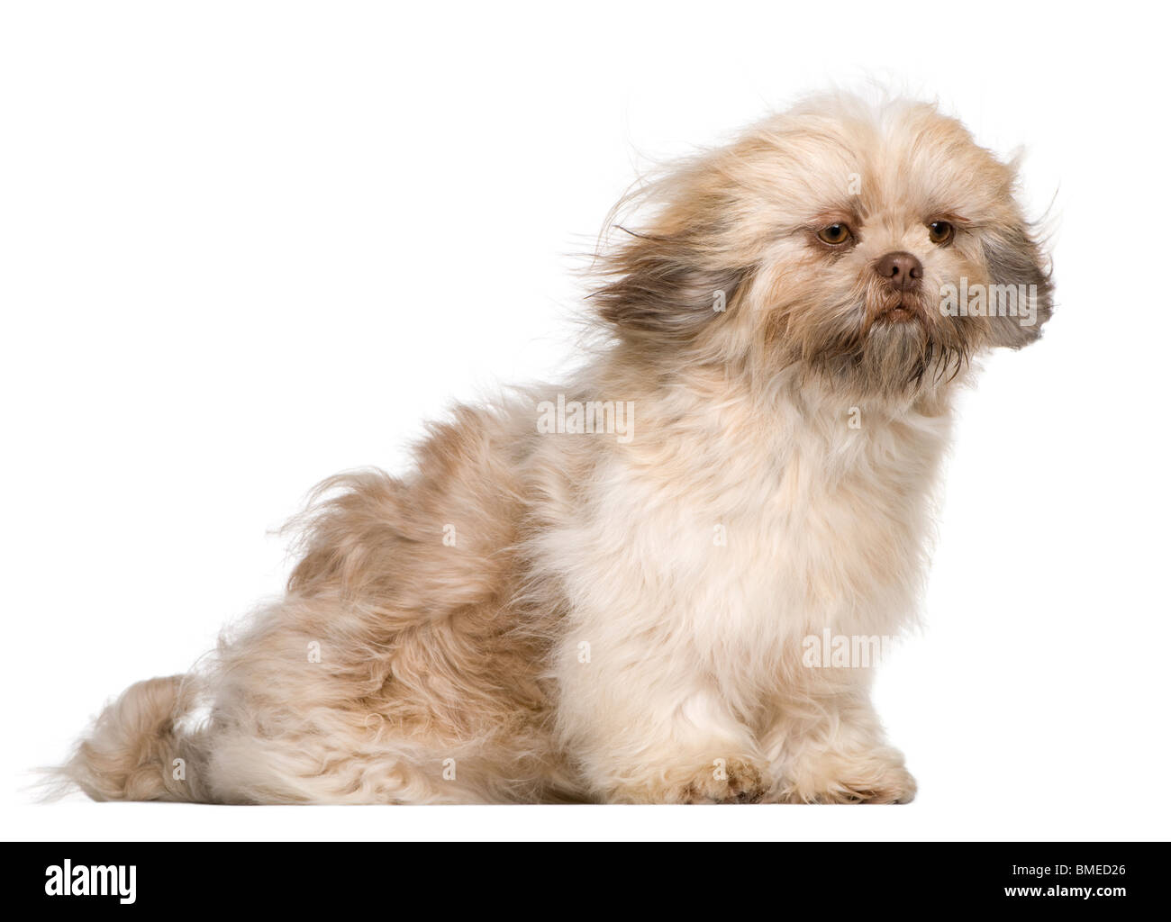 Shih Tzu 1 Year Old Sitting In Front Of White Background Stock