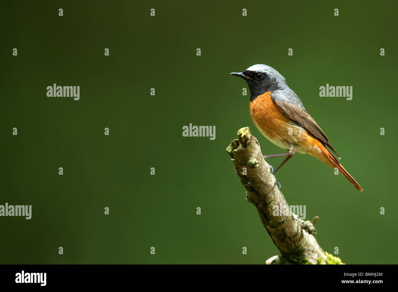 REDSTART (Phoenicurus phoenicurus), male in woodland. - Stock Image