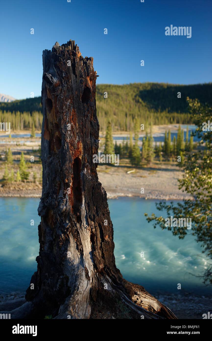 a tree stump by the Athabasca River nr Jasper, Jasper National Park, Alberta, Canada - Stock Image