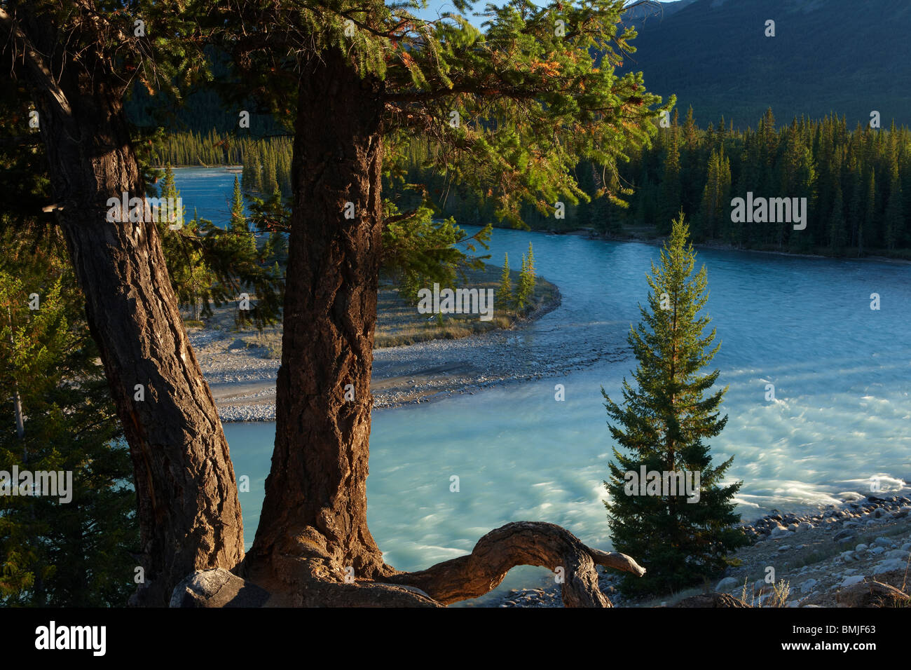 a tree by the Athabasca River nr Jasper, Jasper National Park, Alberta, Canada - Stock Image