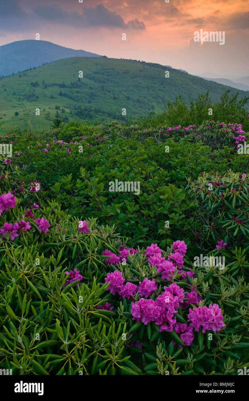 Rhododendron in a mountain scenery - Stock Image