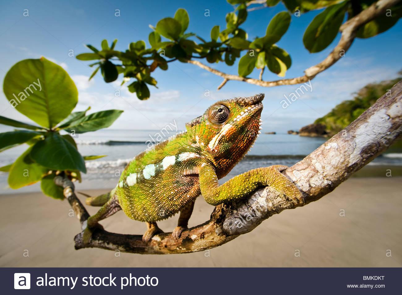 Male Panther Chameleon stalking prey in beach side vegetation, Bay of Antongil, Masoala Peninsula National Park, - Stock Image