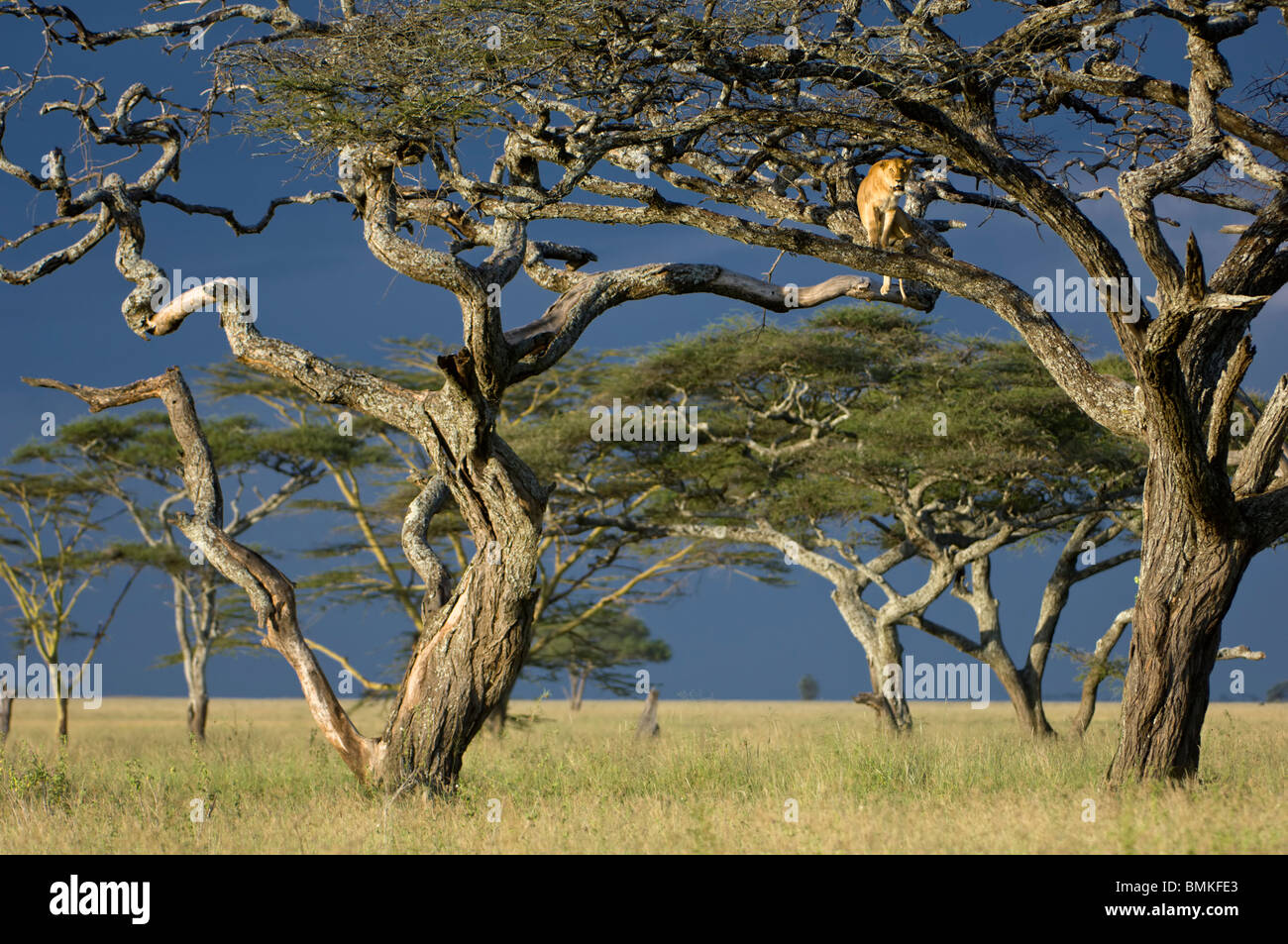African Lioness using tree as a lookout, Nogorongoro Conservation Area, Serengeti National Park, Tanzania. - Stock Image