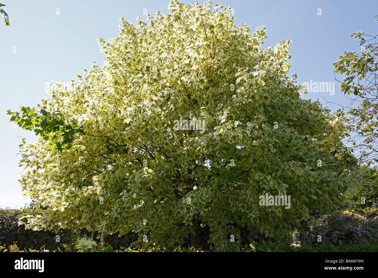 Variegated Tree Leaf Stock Photos & Variegated Tree Leaf Stock ...