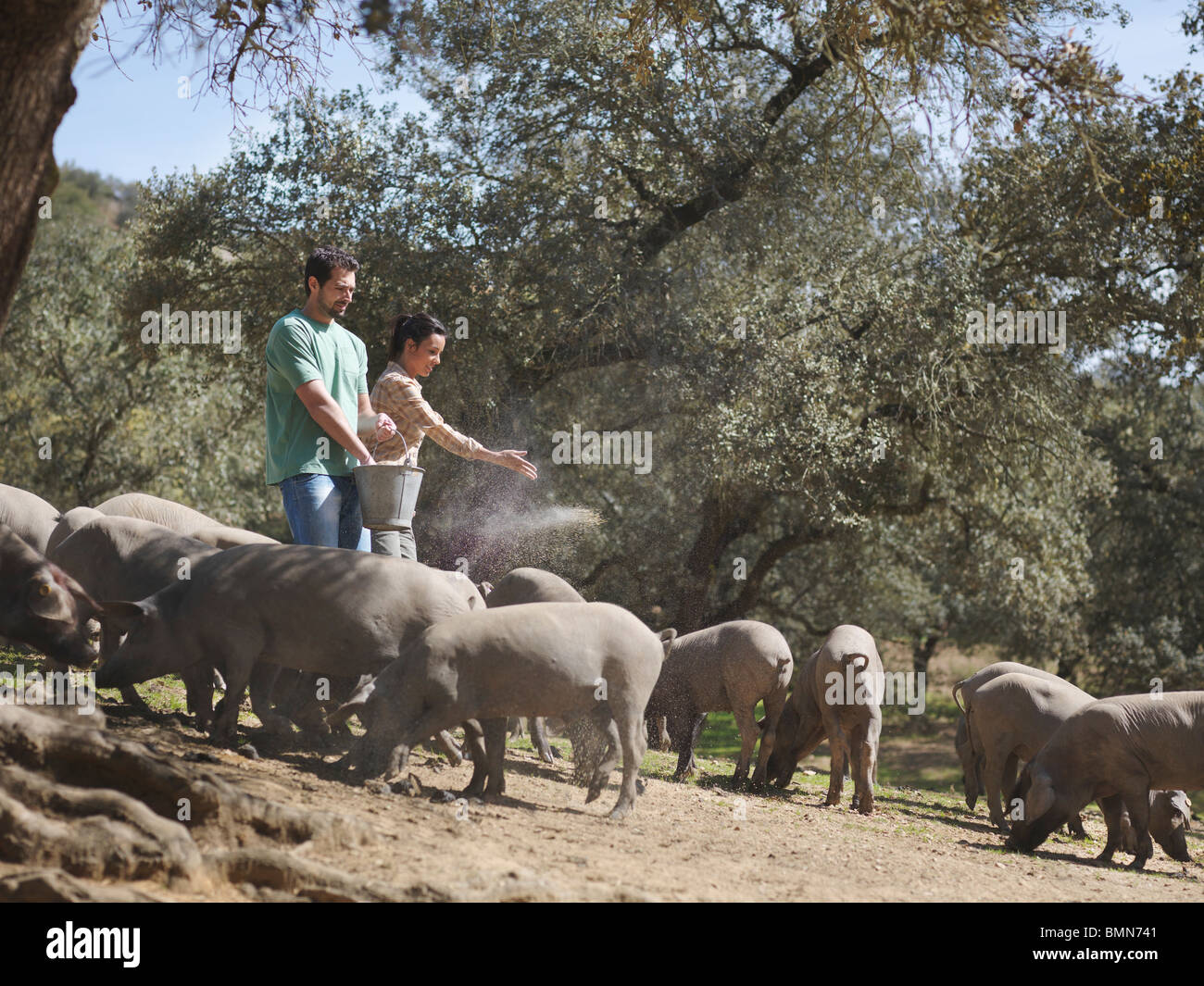 Man and woman on farm feeding pigs - Stock Image
