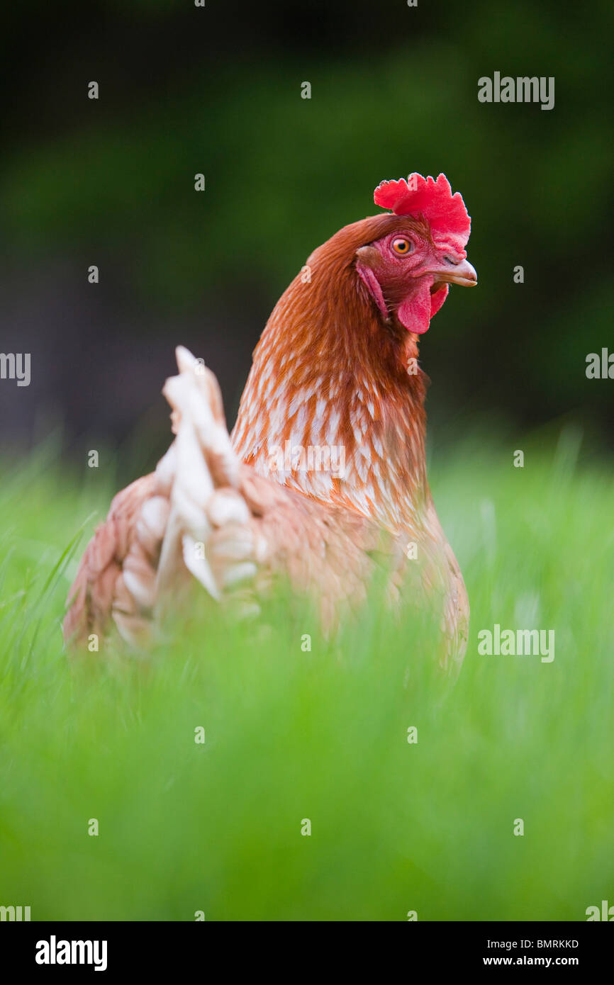 A Rhode Island Red hybrid hen chicken (Gallus gallus domesticus) on a farm in Lincolnshire, England - Stock Image