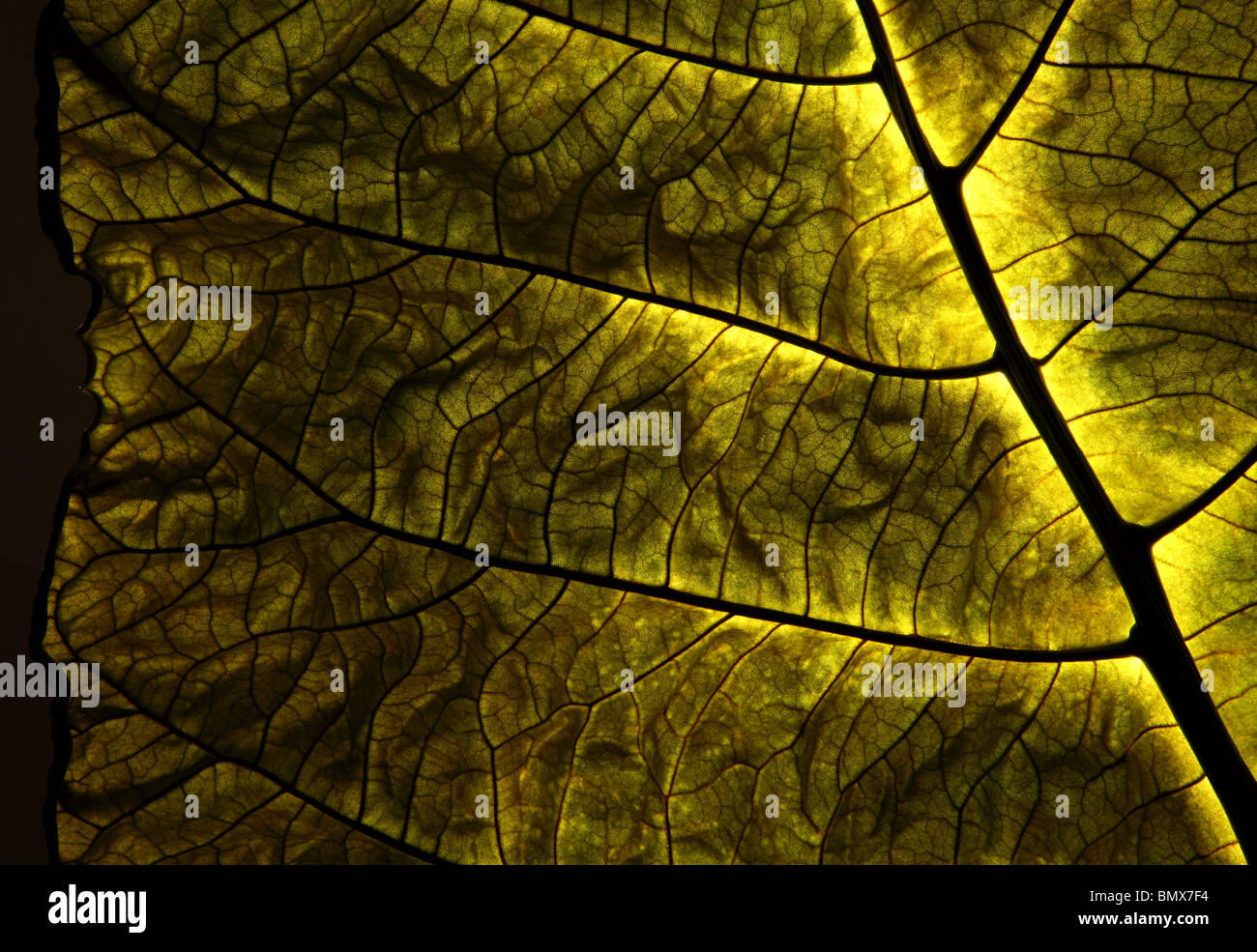 A single green plant leaf, black background - Stock Image