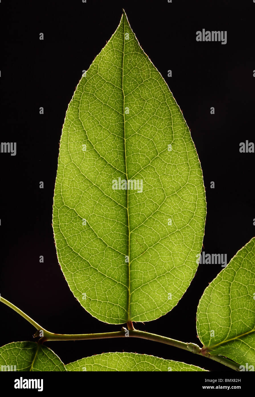 Green plant leaf on a branch, black background - Stock Image
