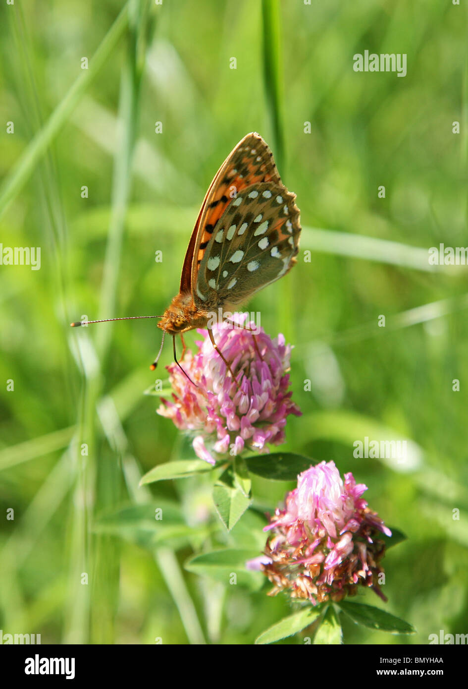 dark-green-fritillary-argynnis-aglaja-butterfly-BMYHAA.jpg