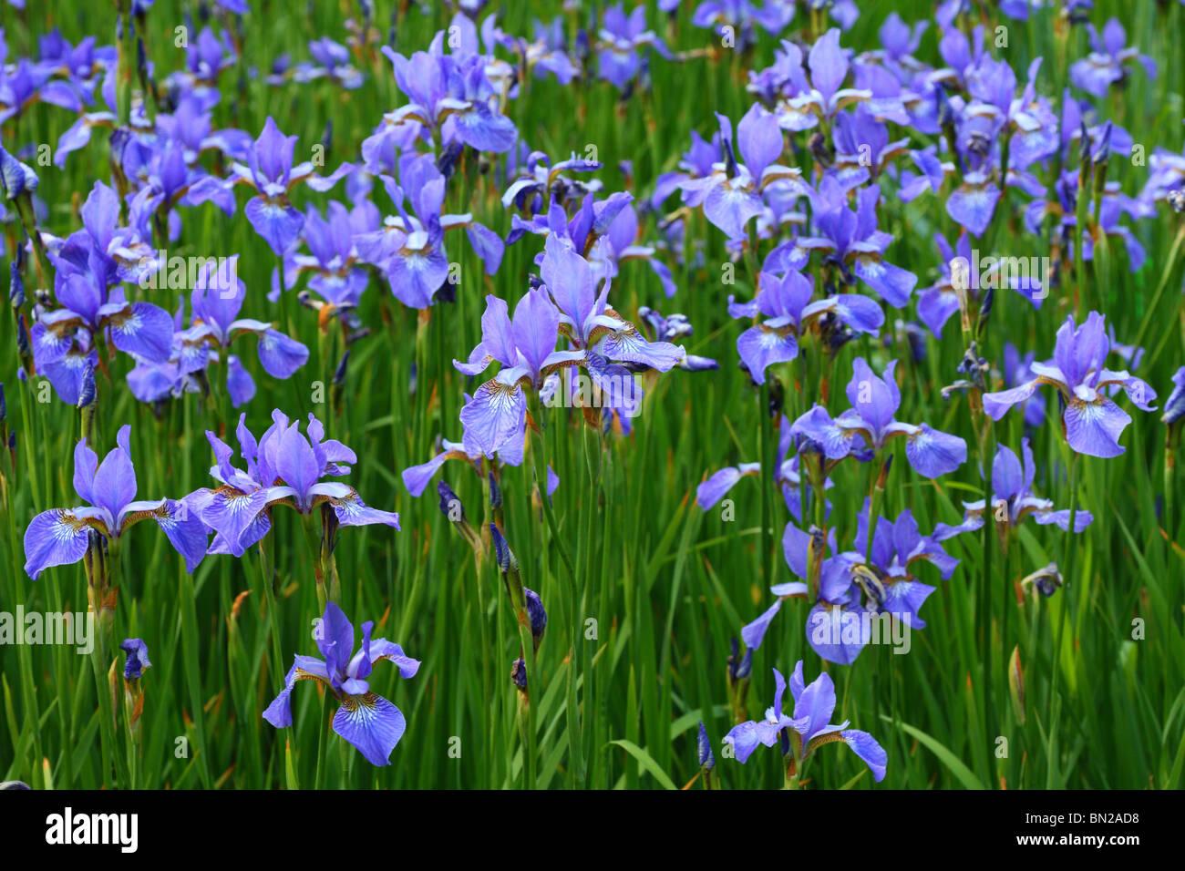 Tn state flower iris image collections flower wallpaper hd wild iris flower facts images flower wallpaper hd tn state flower iris choice image flower wallpaper izmirmasajfo
