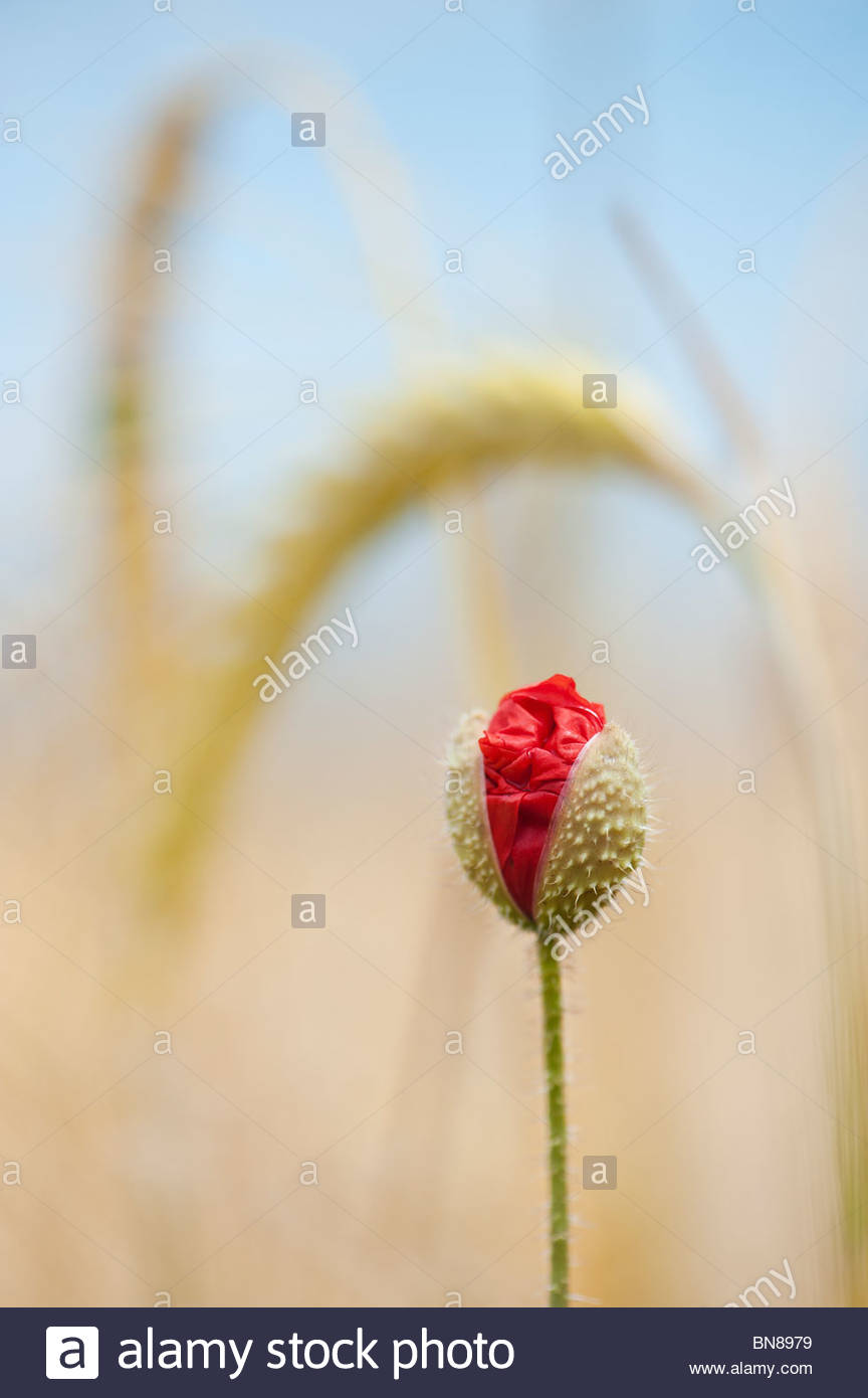 Field poppy, papaver rhoeas emerging in amongst barley in a field in the English countryside - Stock Image