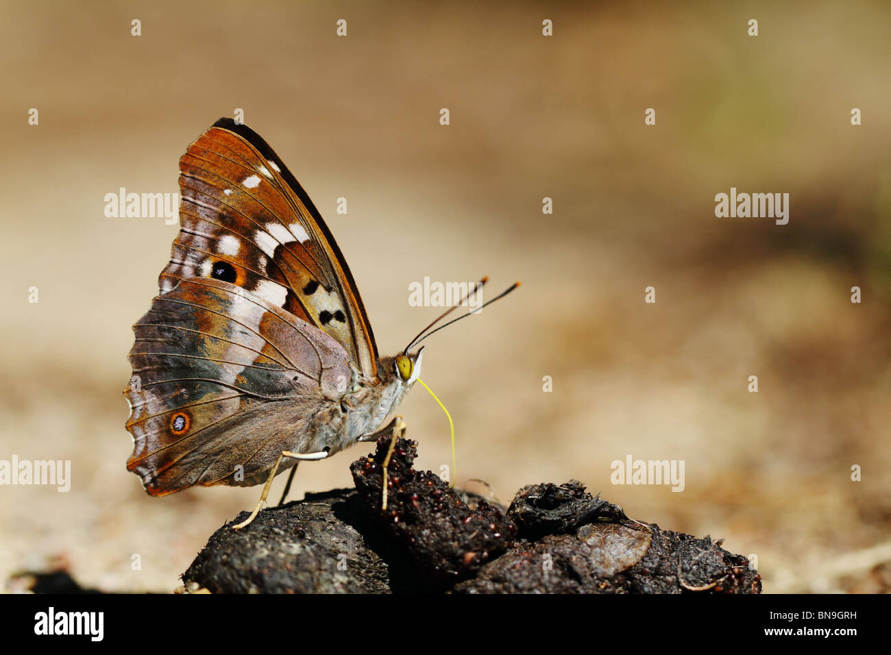 lesser-purple-emperor-apatura-ilia-on-an