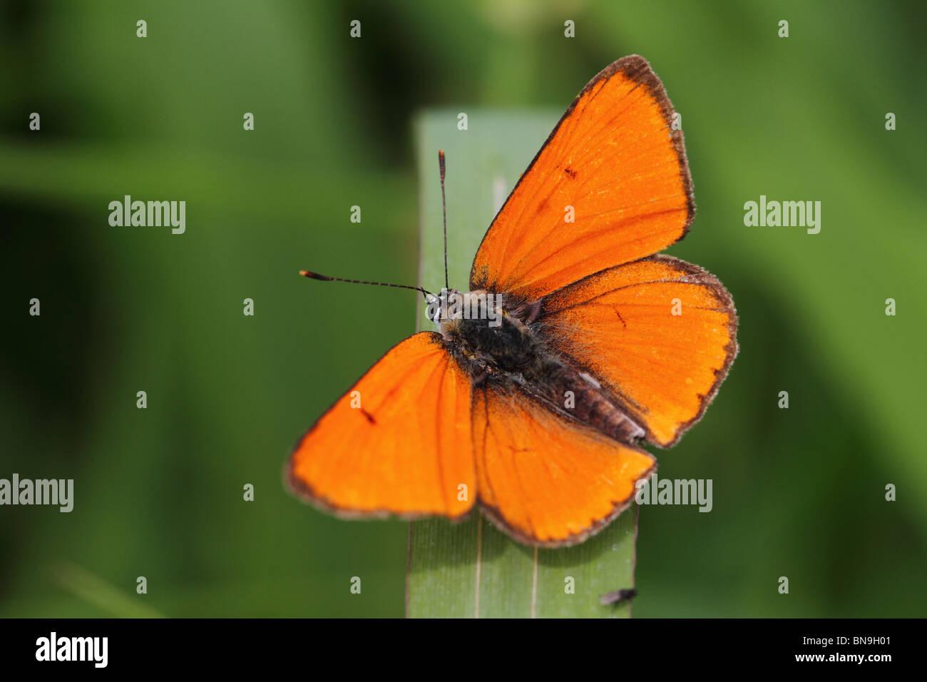large-copper-lycaena-dispar-BN9H01.jpg