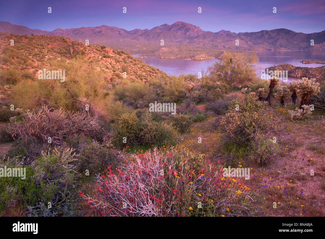 Wildflowers along Bartlett Lake, Tonto National Forest, near Phoenix, Arizona. - Stock Image