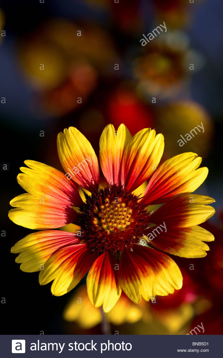 gaillardia-pulchella-indian-blanket-flow