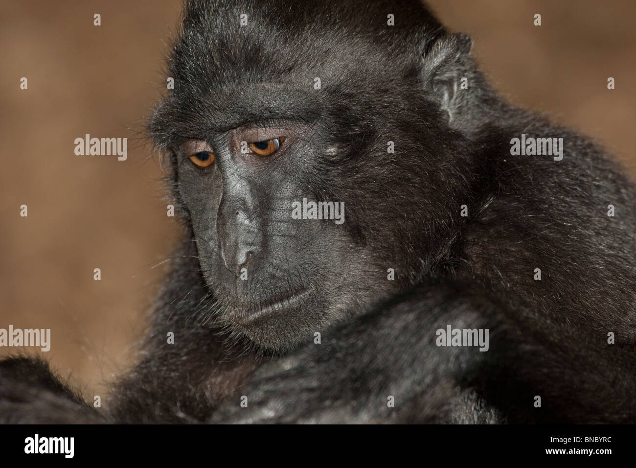 Sulawesi Crested Macaque, Macaca nigra, from Indonesia. - Stock Image