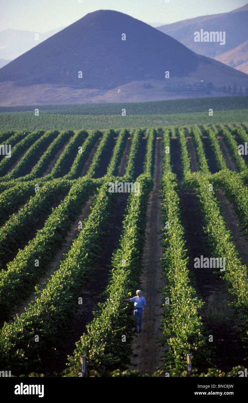 Winemaker Harry Hansen in the vineyards of Edna Valley winery in Edna Valley near Pismo Beach in Central California - Stock Image