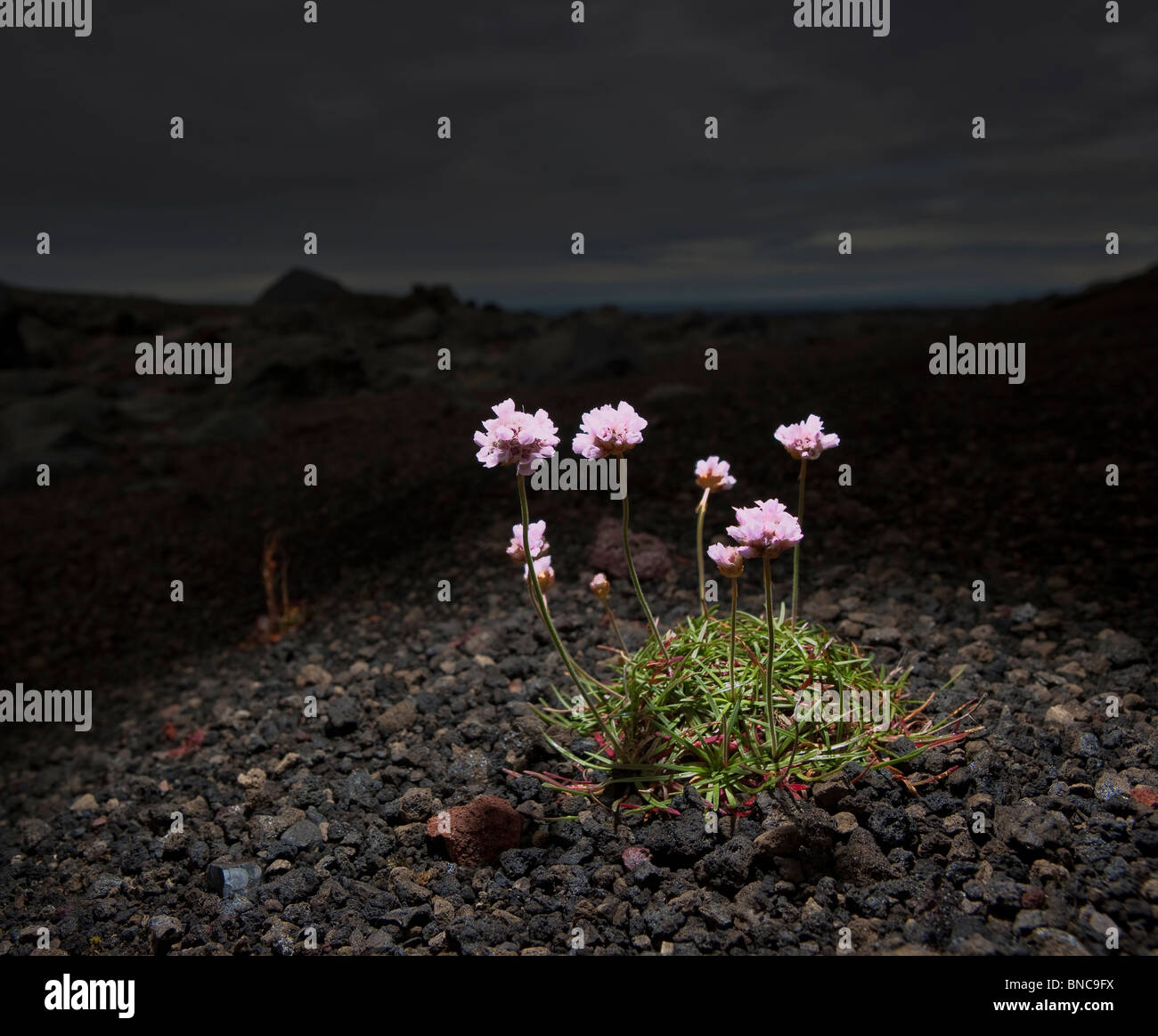 Pink wildflowers growing in black sands and lava, Iceland - Stock Image