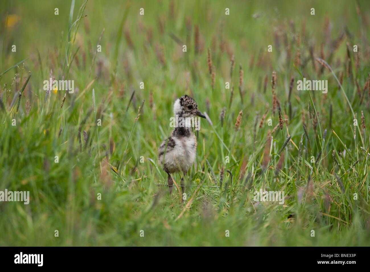 Lapwing chick. - Stock Image
