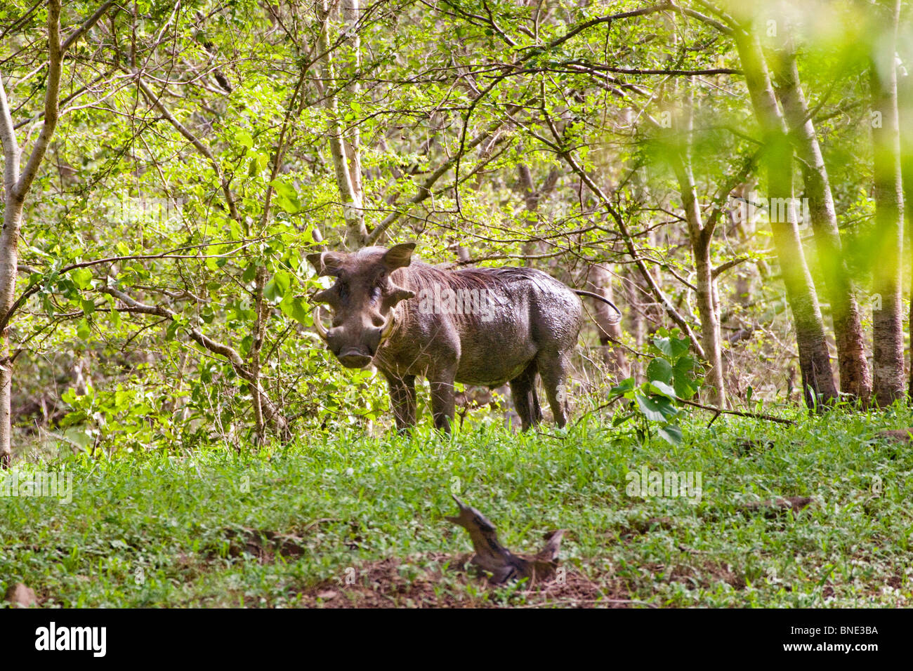 Common Warthog, Phacochoerus africanus, in Mole National Park, Ghana. - Stock Image