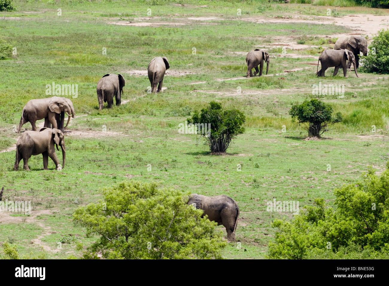 Herd of Savannah Elephants, Loxodonta africana, in Mole National Park, Ghana. - Stock Image