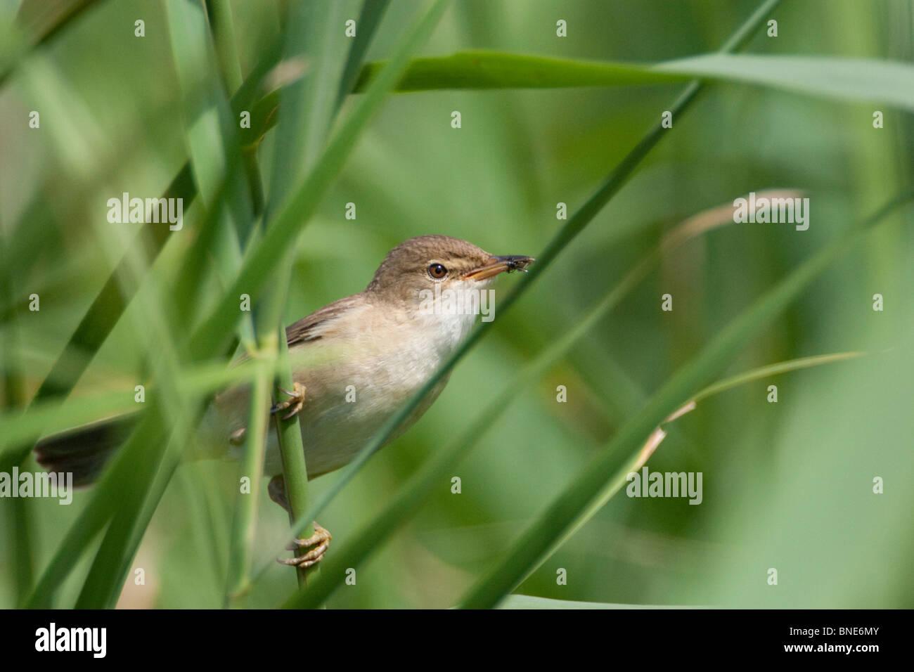 Reed warbler, Acrocephalus scirpaceus. - Stock Image