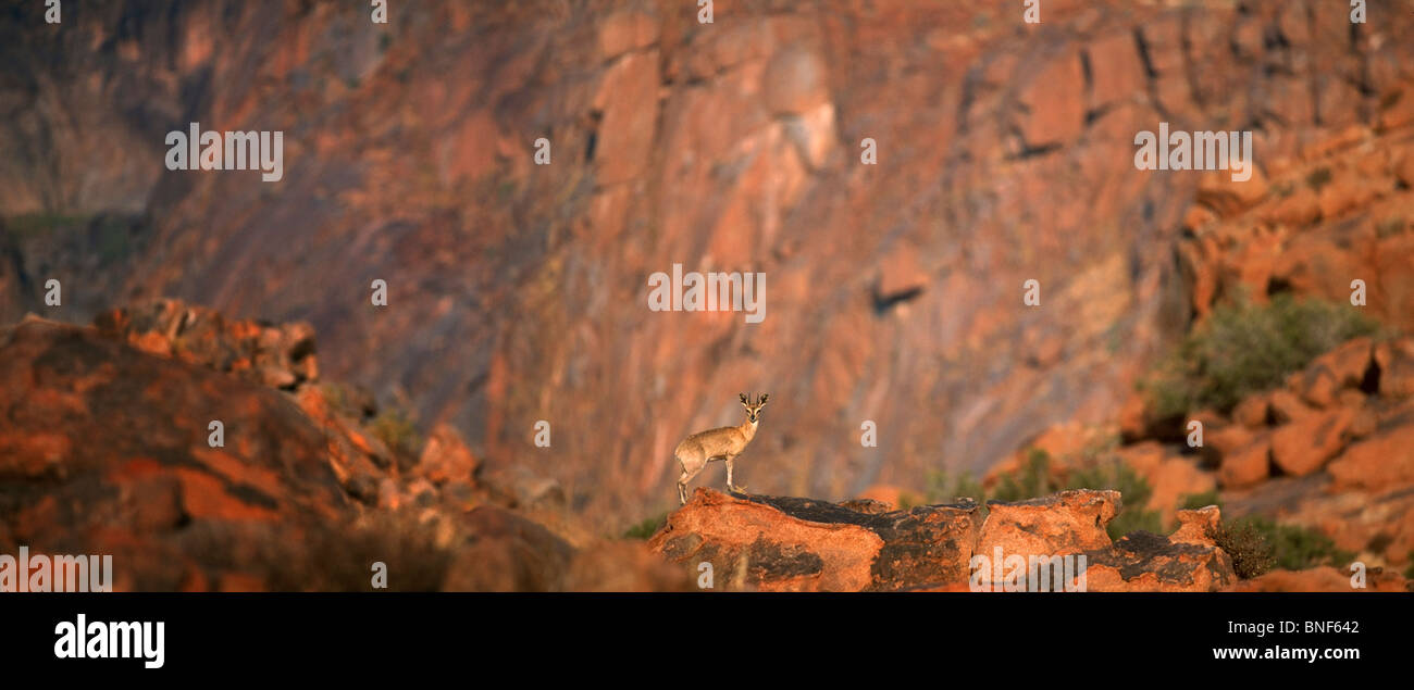 Distant view of Klipspringer (Oreotragus oreotragus) standing on rock, Karoo National Park, Western Cape Province, - Stock Image