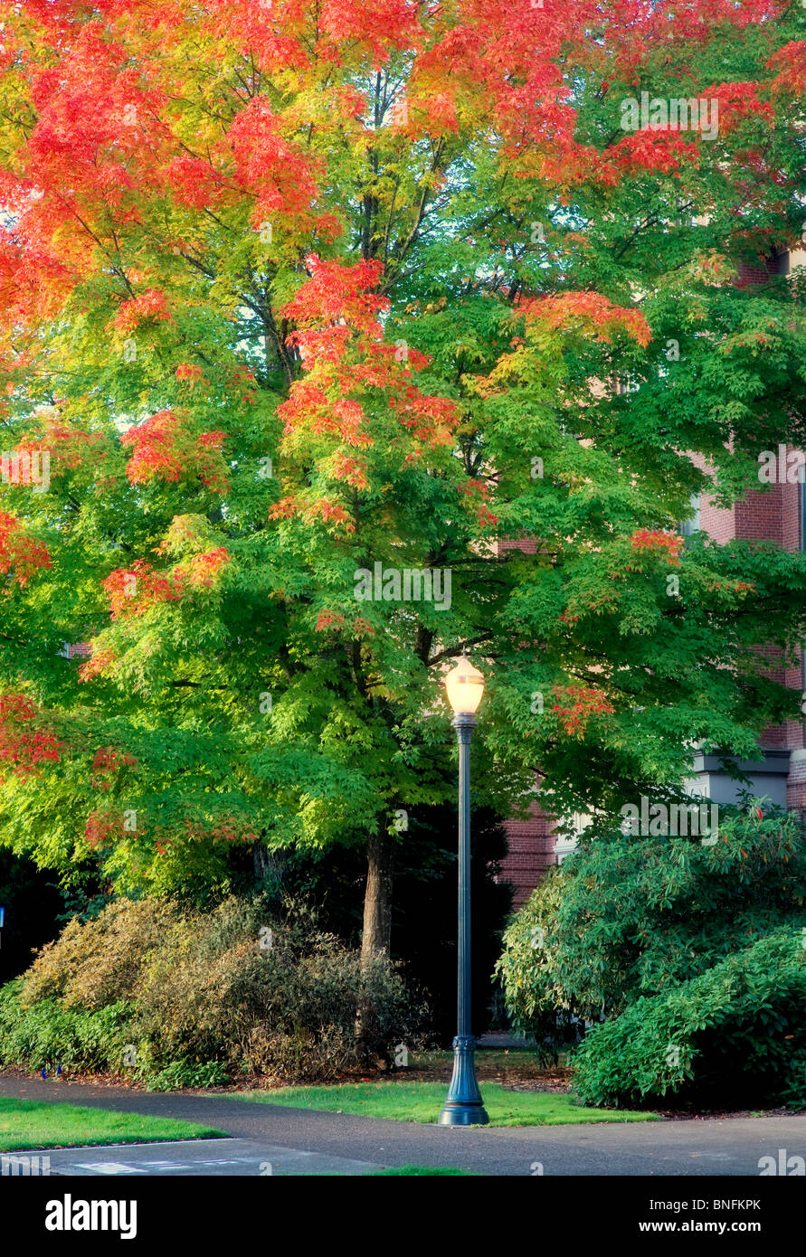 Lamp and fall colored tree . Oregon State University. - Stock Image