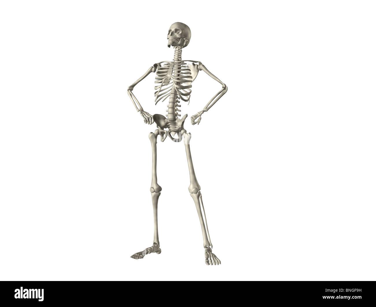 X Ray View Of A Human Skeleton Posing Stock Photo 30481405 Alamy