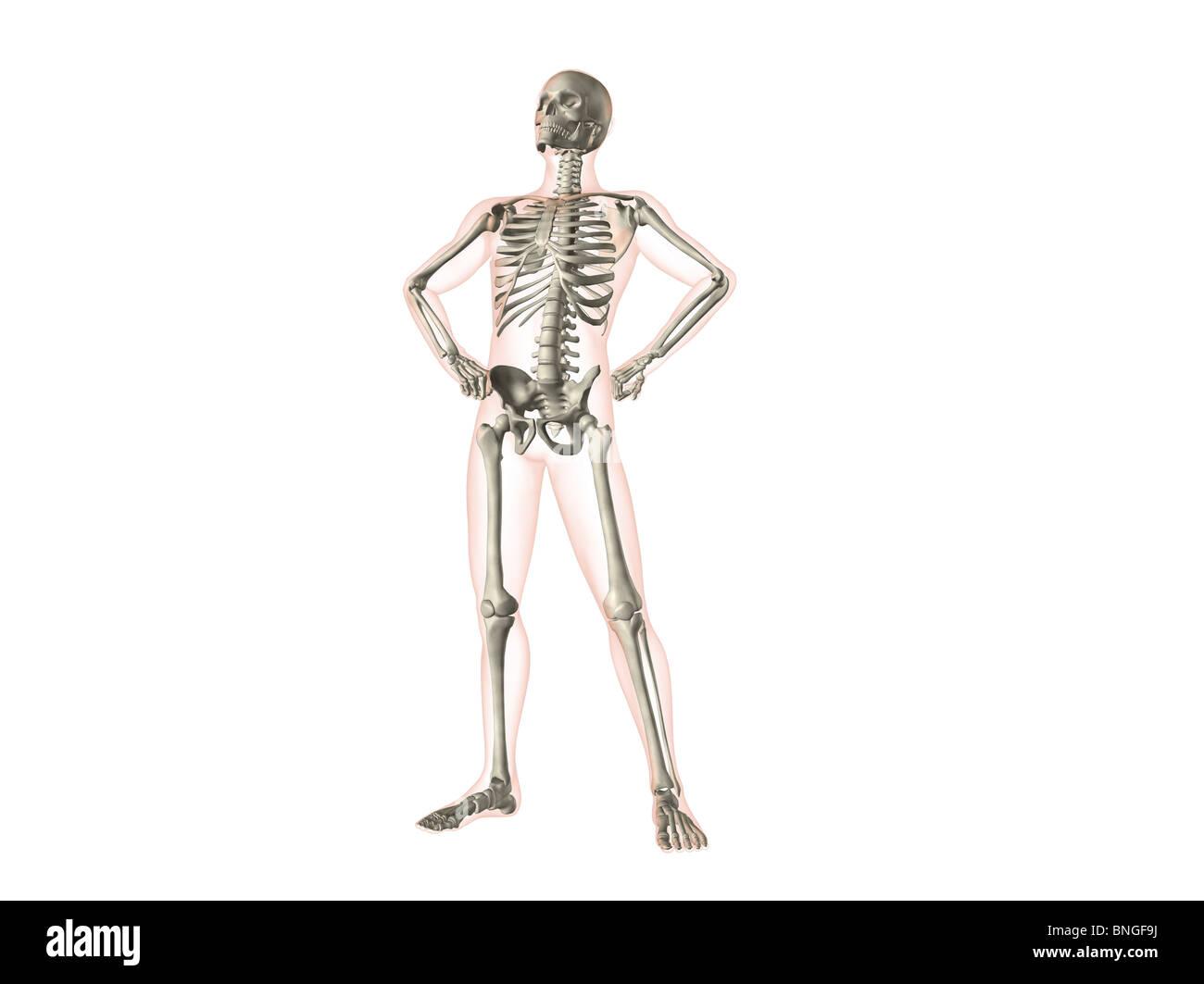 X Ray View Of A Human Skeleton Posing Stock Photo 30481406 Alamy