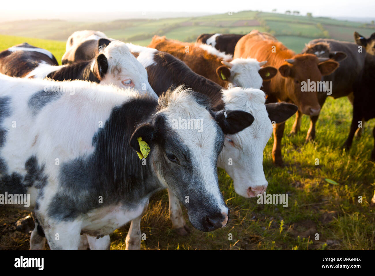 Curious Bullocks crowd together in a farmers field, Devon, England. Spring (May) 2009 - Stock Image