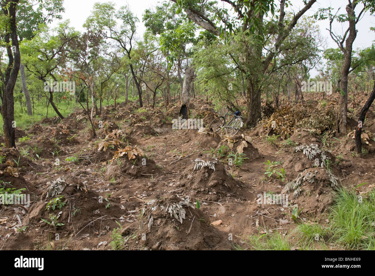 Yam cultivation in the Gonja triangle, Damango district, Ghana. Stock Photo