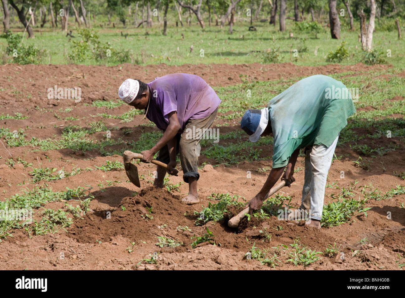 Young men from a Fulani family in a village in Ghana. They are hoeing the ground in preparation for the sowing of Stock Photo