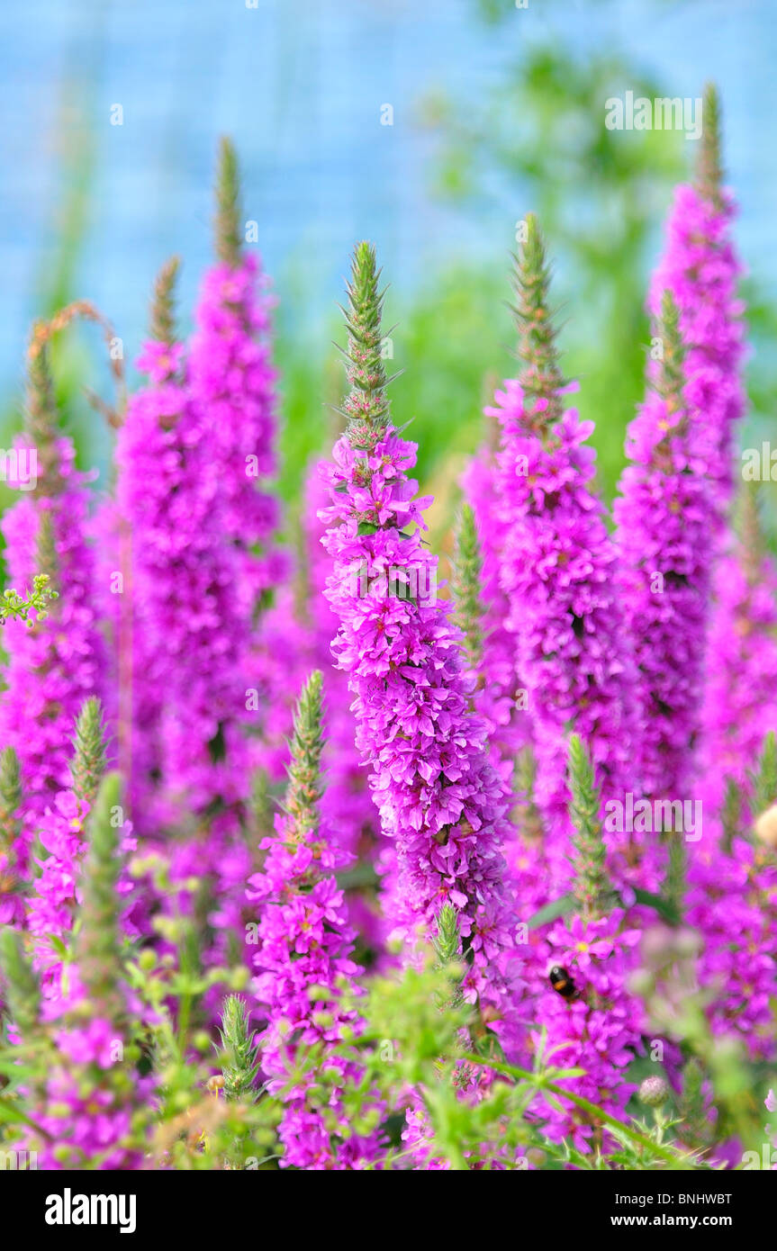 Pink wild flower spikes by waterside stock photo 30511260 alamy pink wild flower spikes by waterside mightylinksfo Image collections