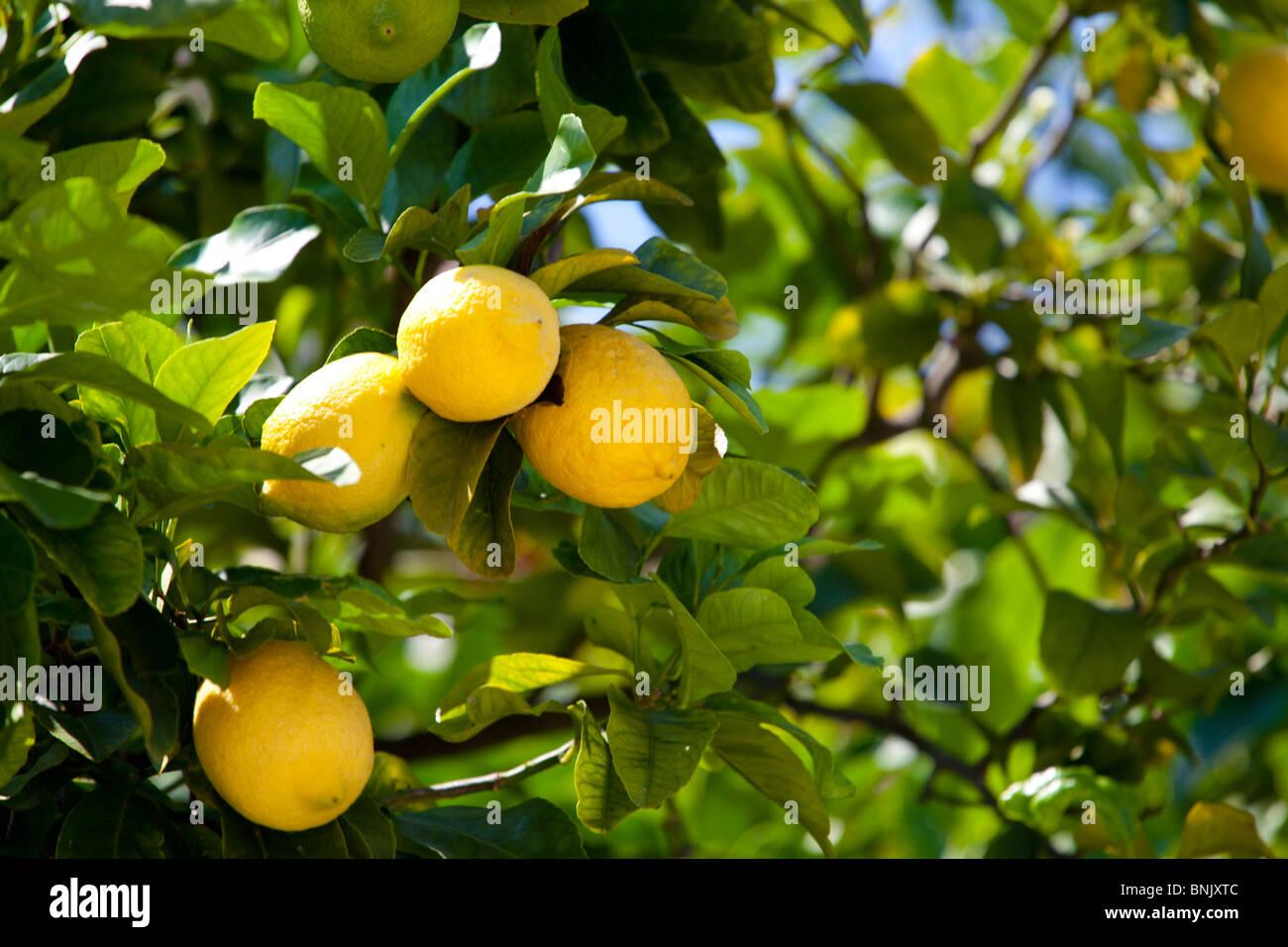 very-ripe-lemons-growing-on-a-lemon-tree