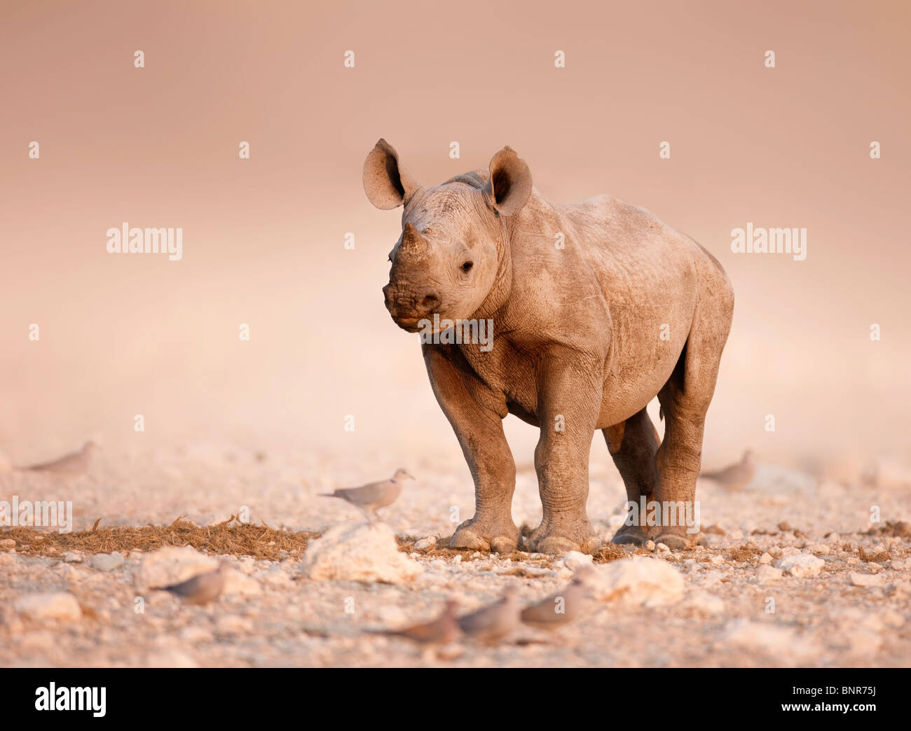 Baby Black Rhinoceros standing alone on salty plains of Etosha (Namibia) - Stock Image