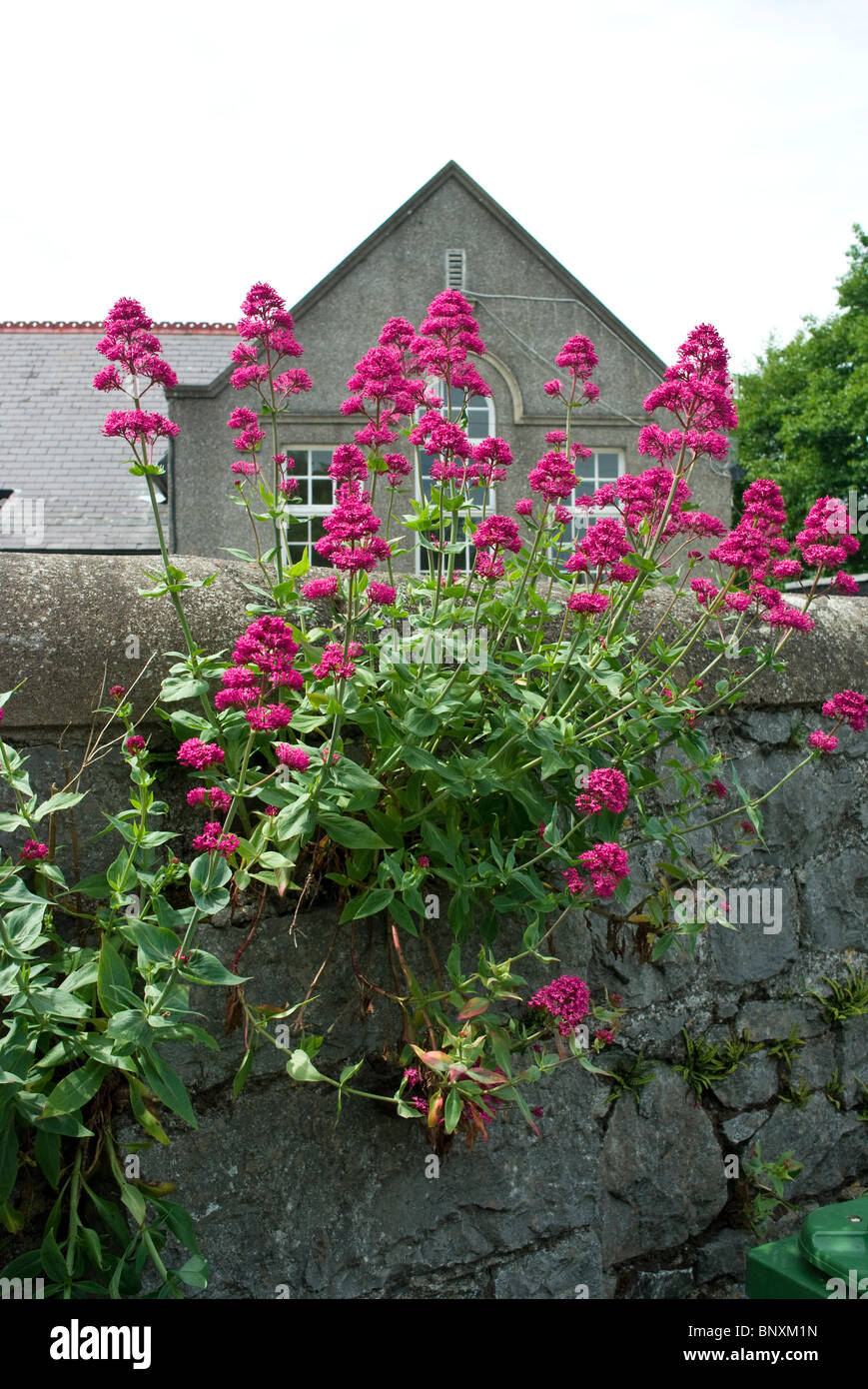 Red Valerian flowers typically growing out of a rubble stone wall in Skerries, north county Dublin, Ireland - Stock Image