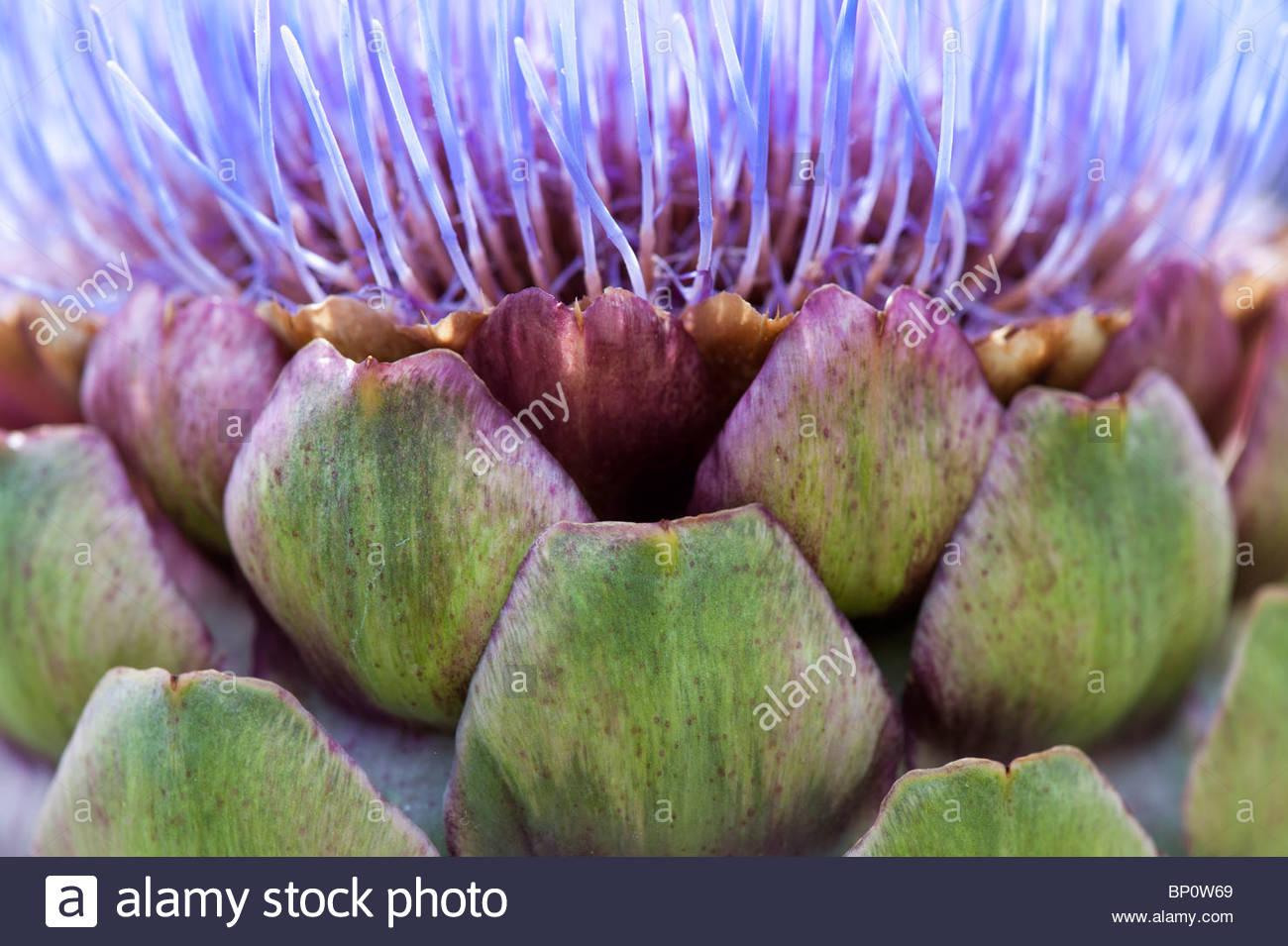 Cynara Scolymus. Globe artichoke flower - Stock Image