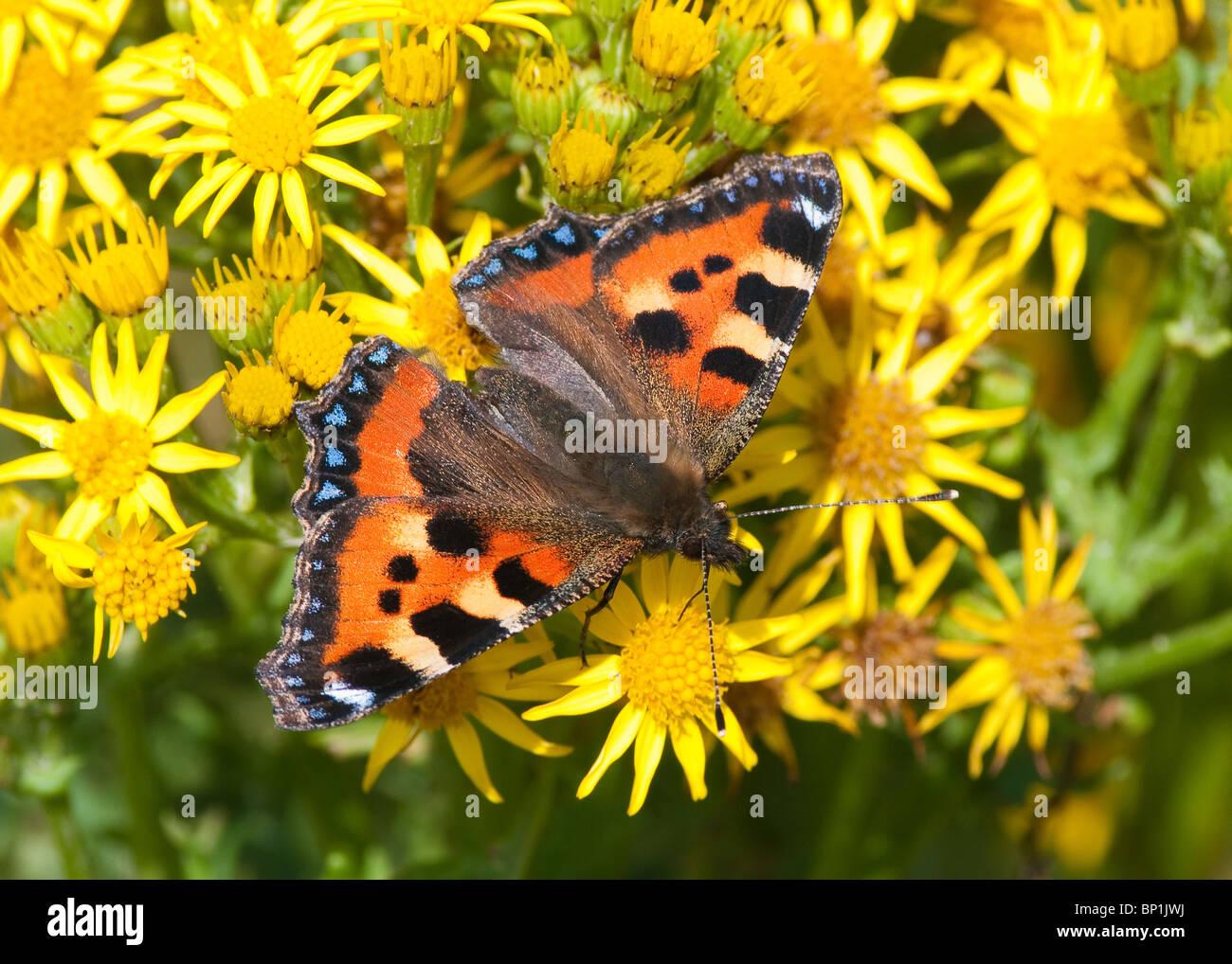 small-tortoiseshell-butterfly-aglais-urt