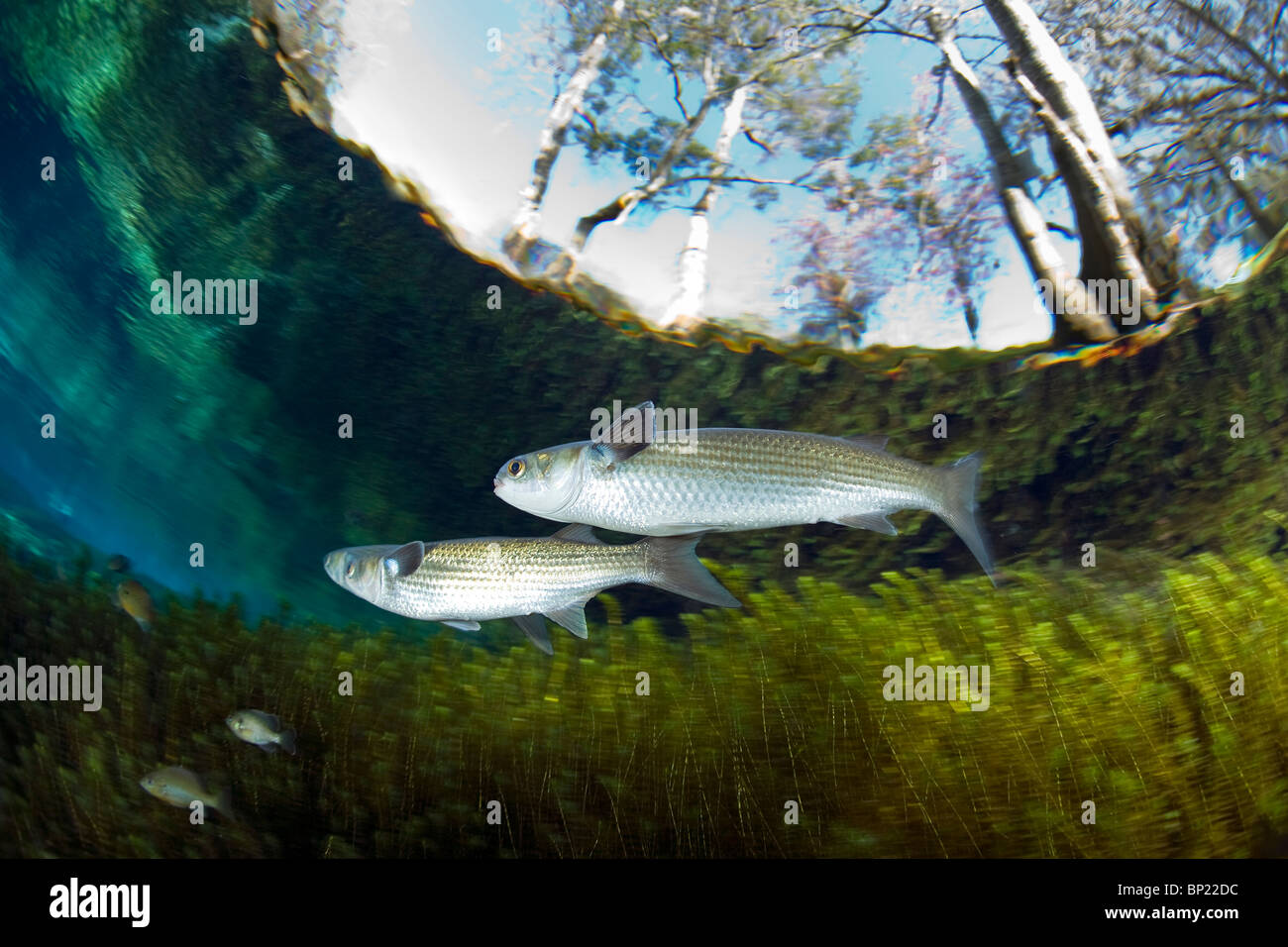 White Mullet, Mugil curema, Ginnie Springs, Florida, USA Stock Photo