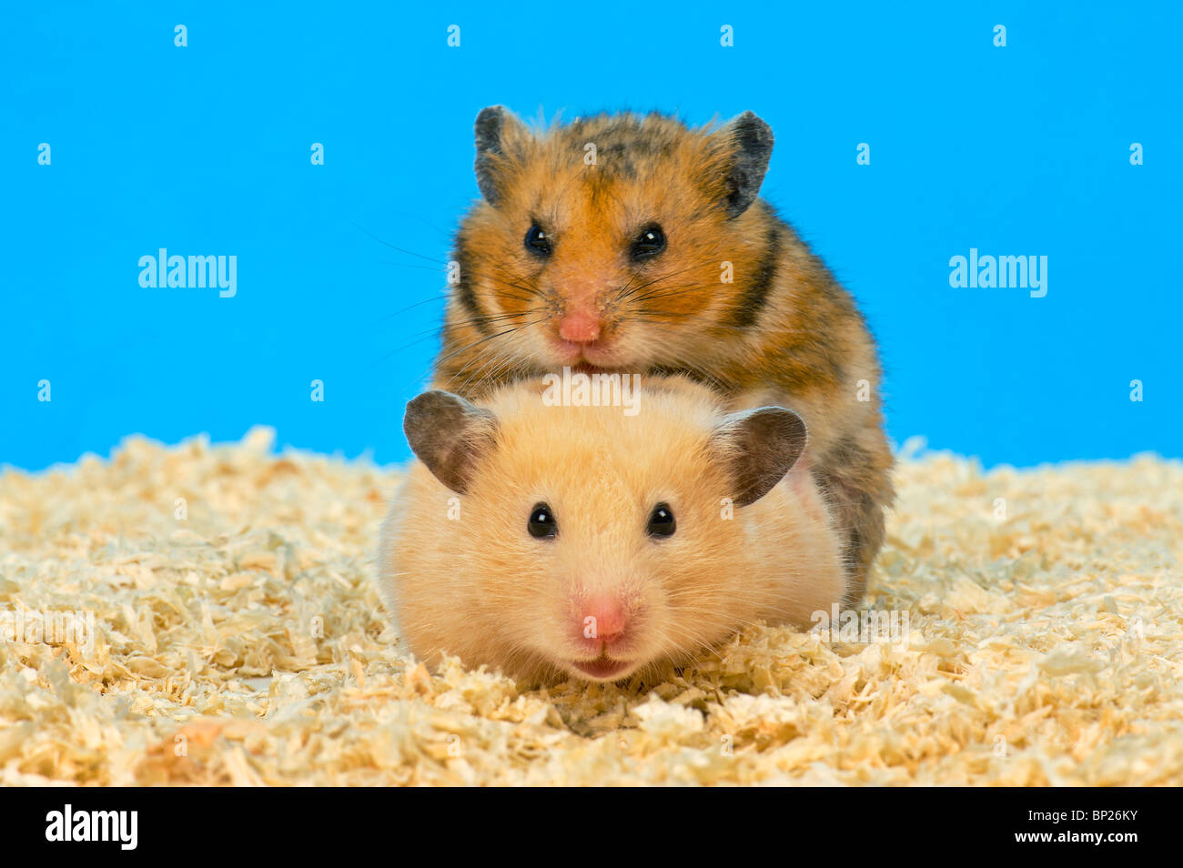 sexy hamster