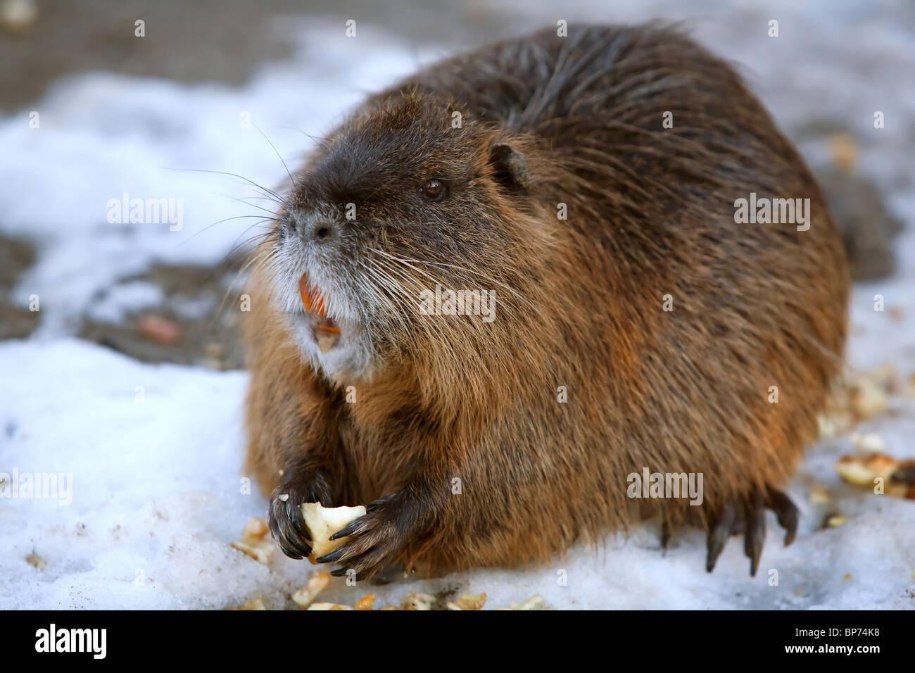 Beaver gallery mature
