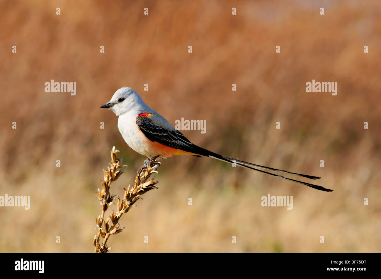 a-scissor-tailed-flycatcher-or-tyrannus-