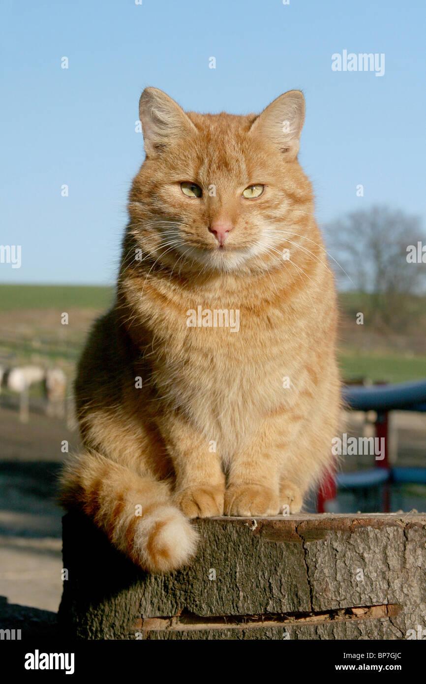 Domestic Cat (Felis silvestris, Felis catus). Free-ranging farm tomcat sitting on a log. - Stock Image