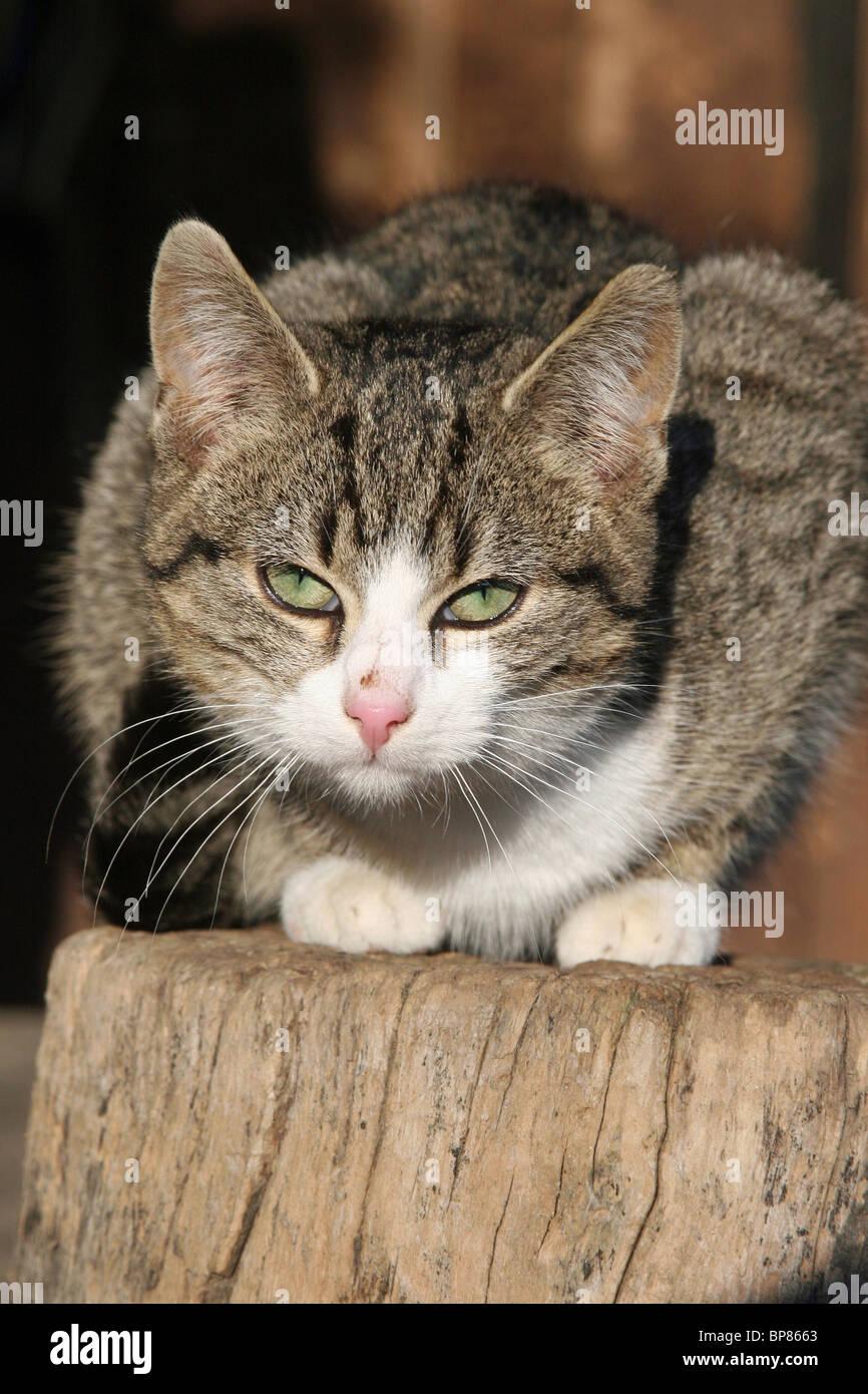 Domestic Cat (Felis silvestris, Felis catus). Free-ranging farm cat crouched on a log. - Stock Image