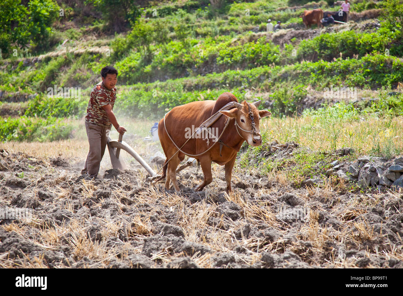 Farmer plowing field along Tiger Leaping Gorge, Southern Yunnan Province, China - Stock Image