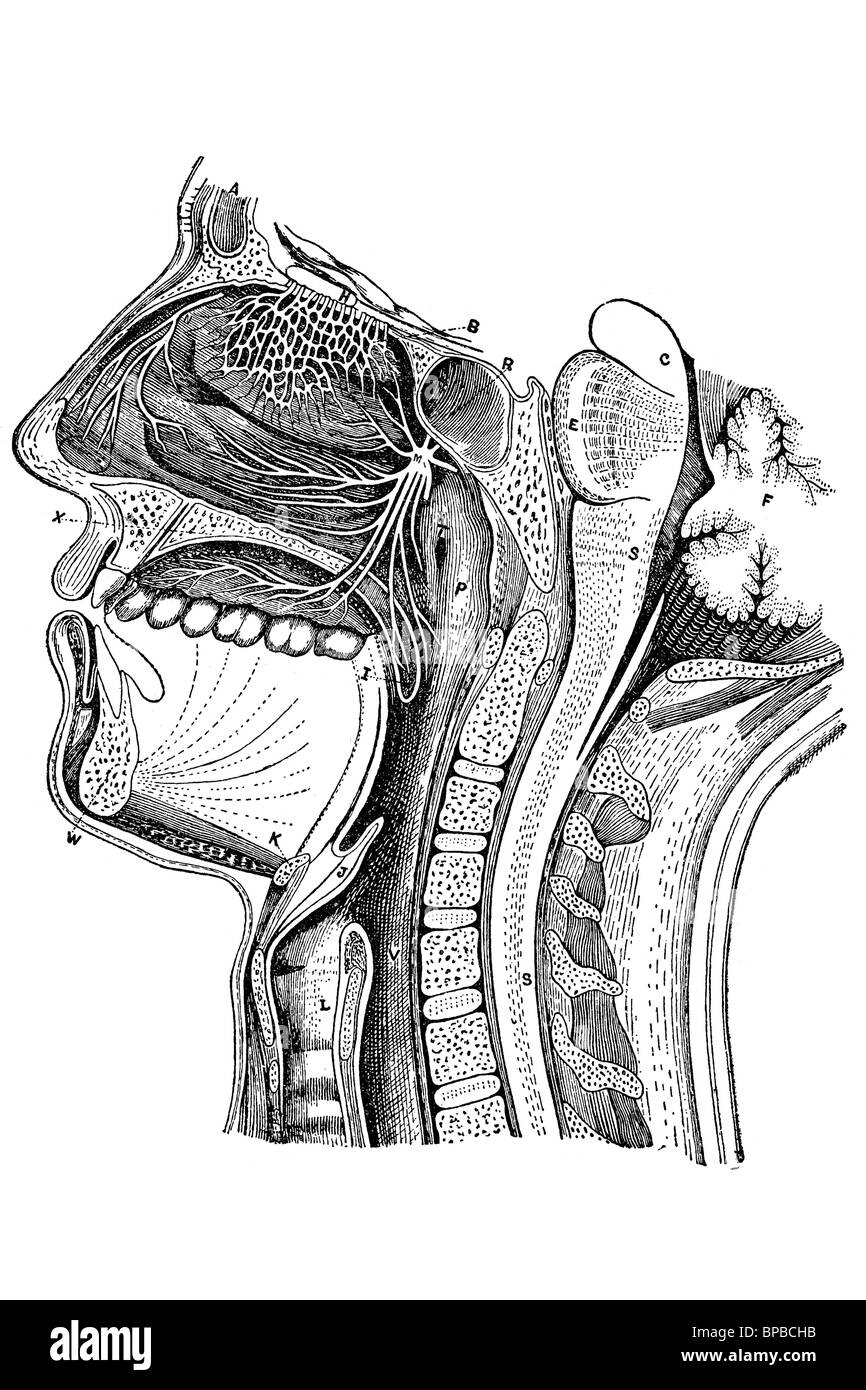 Mouth nose and throat diagram antique illustration 1920 stock mouth nose and throat diagram antique illustration 1920 ccuart Image collections