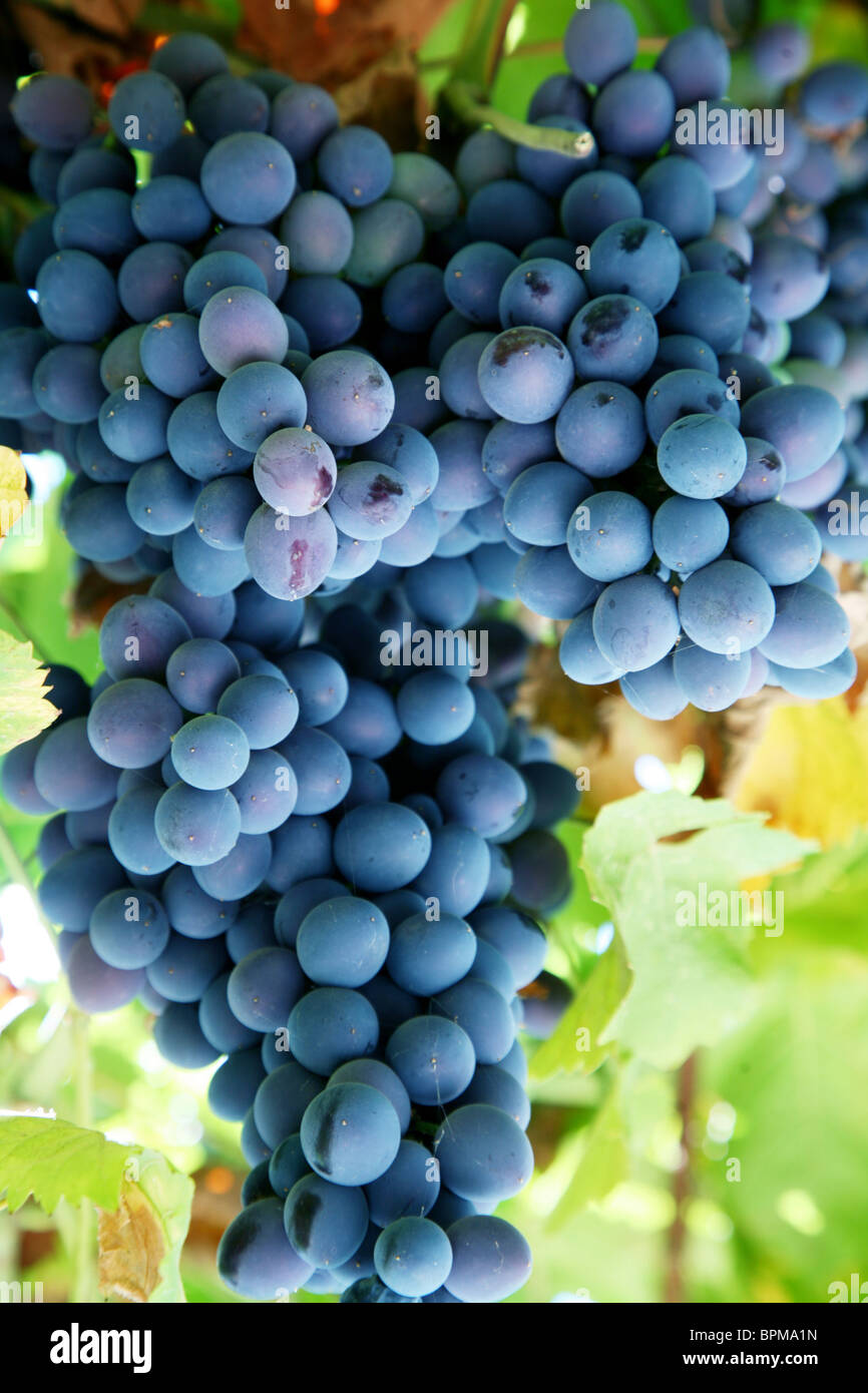 Bunch of blue grapes in a vineyard - Stock Image