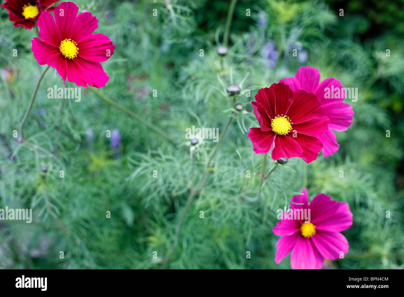 Deep pink Cosmos Bipinnatus - Stock Image